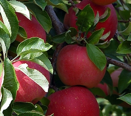 apples cropped2